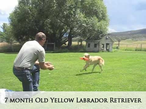 7 month old Yellow Labrador Retriever