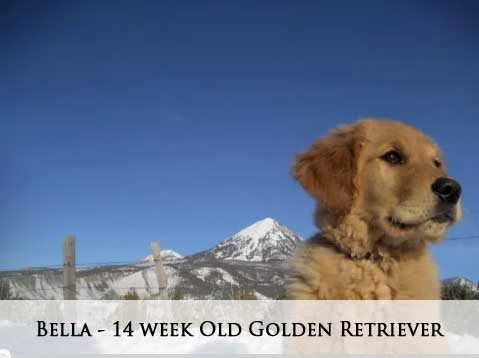Bella - 14 week Old Golden Retriever